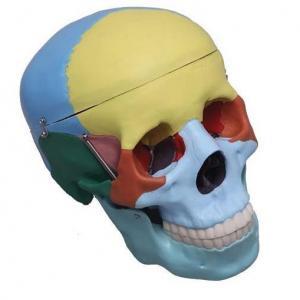 Modelos de Crânios