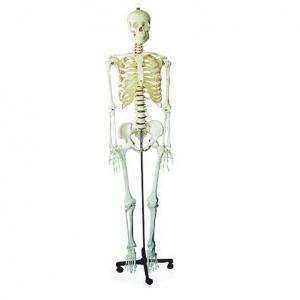 Modelos de Esqueletos Humanos