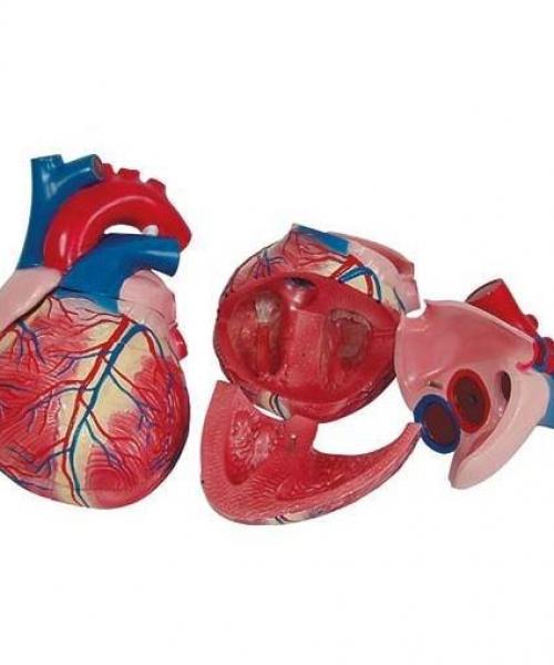 Modelos de Órgãos